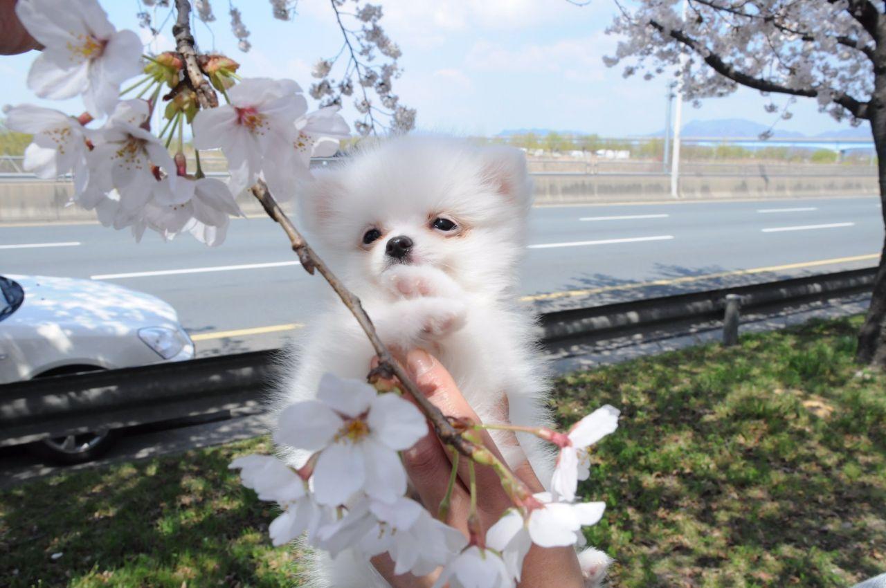 벚꽃축제에 나타난 꽃개