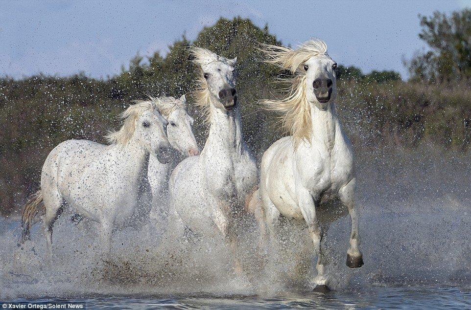 1411484205921_wps_10_A_herd_of_white_horses_ga.jpg 세상에서 가장 경이로운 명마들 top 10