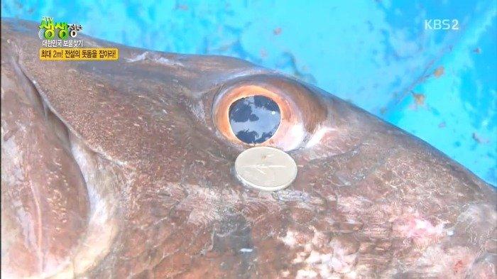 46.jpg 스압)) 전설의 심해어 돗돔