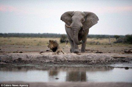 SSI_20150703133546_V_99_20150703134115.jpg [자작] 지상최강의 동물, 아프리카코끼리의 위엄