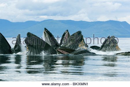 humpback-whale-megaptera-novaeangliae-bubble-net-or-cooperative-feeding-bkxmn1.jpg 1일1고래 ) - 혹등고래