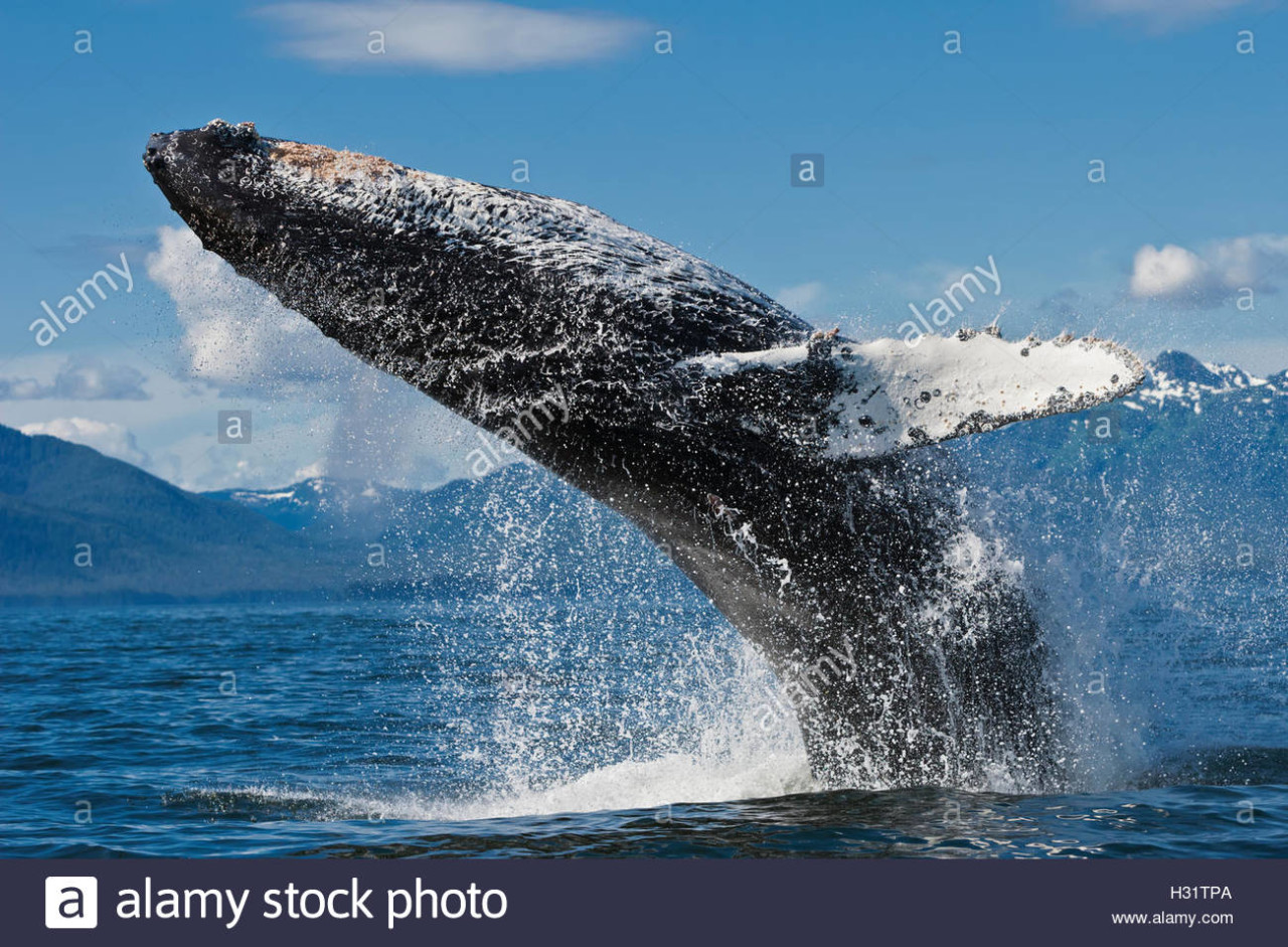 humpback-whale-megaptera-novaeangliae-breaching-very-close-to-the-H31TPA.jpg 1일1고래 ) - 혹등고래