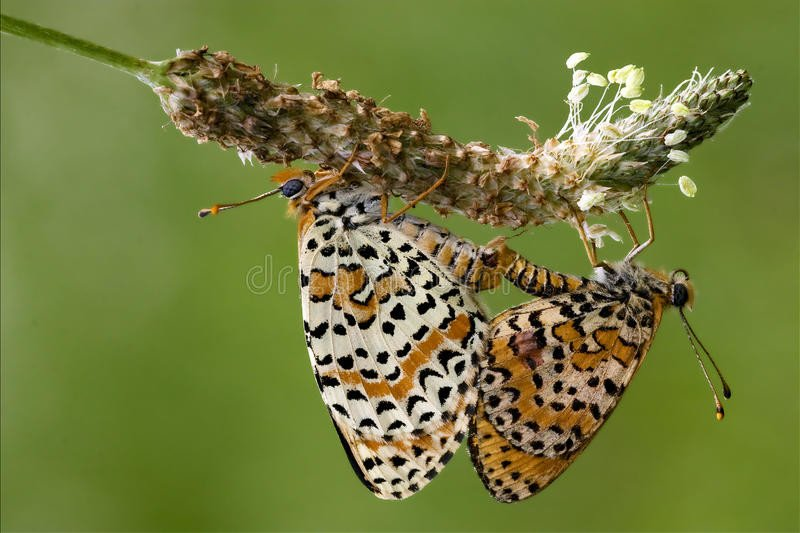 orange-butterfly-having-sex-close-up-two-flower-bush-52995834.jpg 고래 성기의 위엄