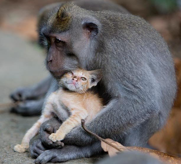 159179450b22a7926.jpg 아기 고양이를 돌보는 원숭이