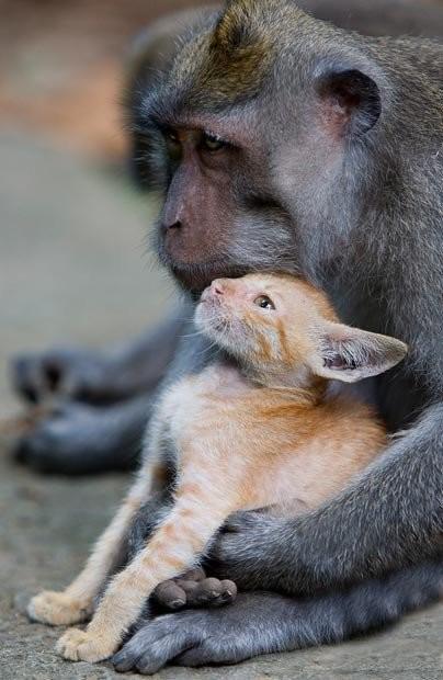 15917942d5a2a7926.jpg 아기 고양이를 돌보는 원숭이