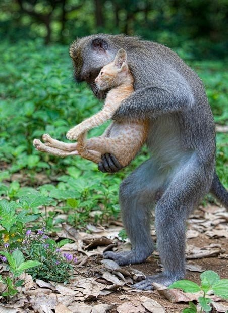 159179466582a7926.jpg 아기 고양이를 돌보는 원숭이