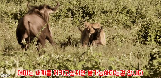 7.PNG 야생 생태계에서 일어난 기적적인 재회.jpg