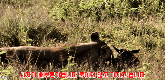 11.PNG 야생 생태계에서 일어난 기적적인 재회.jpg