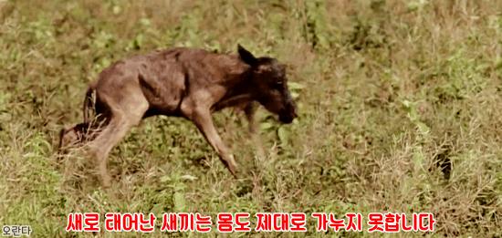 5.PNG 야생 생태계에서 일어난 기적적인 재회.jpg