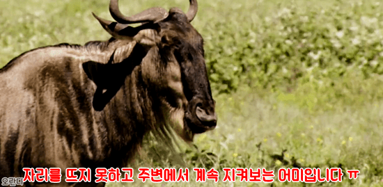 13.PNG 야생 생태계에서 일어난 기적적인 재회.jpg