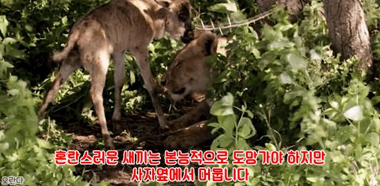 12.PNG 야생 생태계에서 일어난 기적적인 재회.jpg