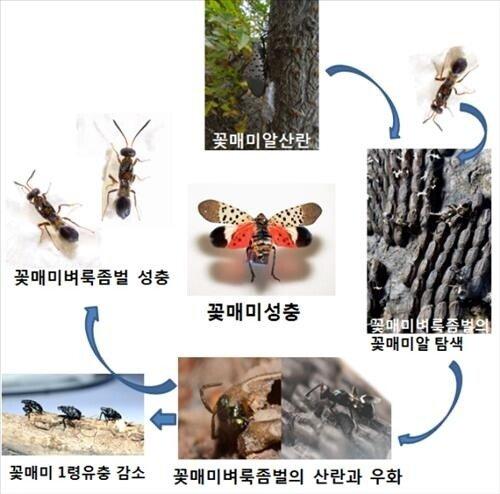 AKR20150722073000004_01_i_P4.jpg 한국에서 꽃매미가 많이 사라진 이유.jpg