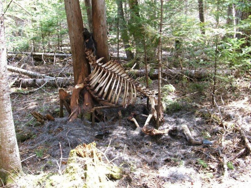 Moose in tree #1.jpg 혐)죽기만을 기다렸을 동물의 사체.jpg
