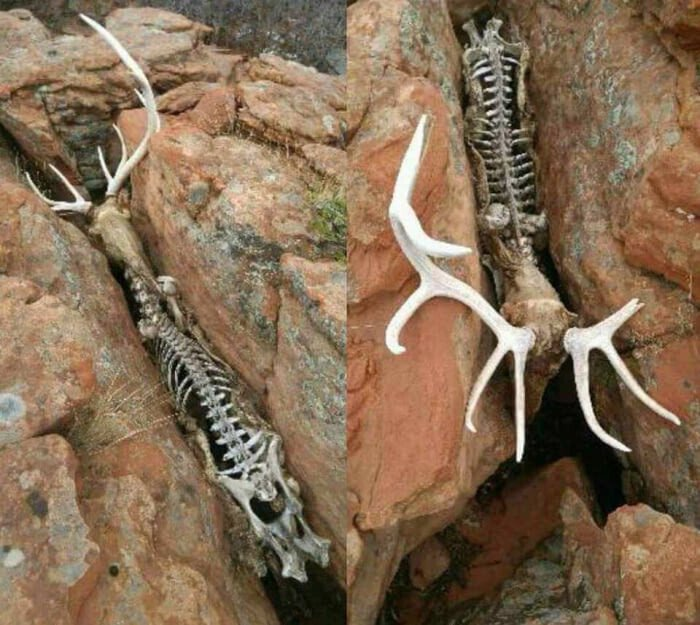 2018-02-27_elk-fell-into-a-crevasse-likely-suffocating-to-death-with-every-breath-his-lungs-close-a-bit-more.jpg 혐)죽기만을 기다렸을 동물의 사체.jpg
