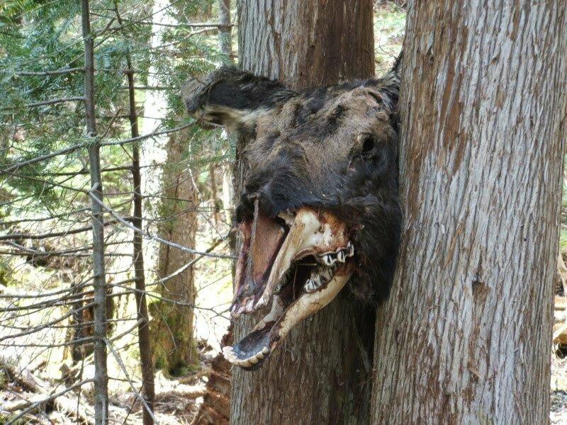 Moose in tree #3.jpg 혐)죽기만을 기다렸을 동물의 사체.jpg