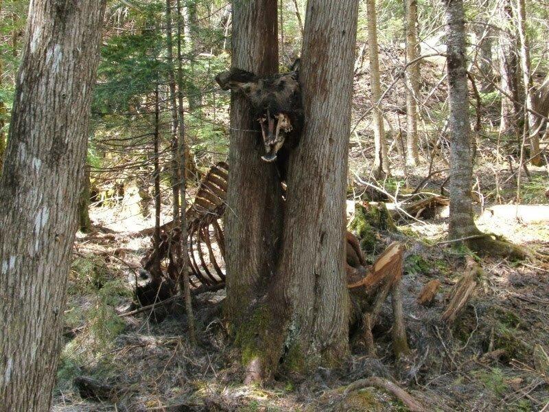 Moose in tree #2.jpg 혐)죽기만을 기다렸을 동물의 사체.jpg