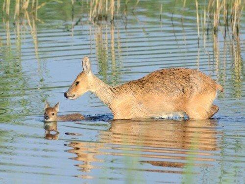 baby-water-deer-pic.jpg 한반도에만 있는 멸종위기 종.jpg