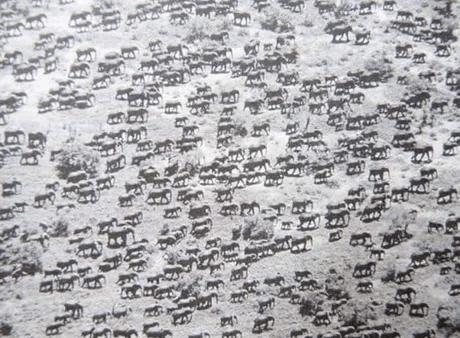 수정됨_aj8z9z1_460swp.png 1950s 케냐의 코끼리 무리 ㄷㄷㄷㄷ