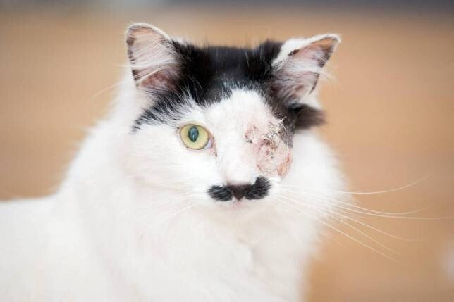 ad_150379749.jpg 약혐) 히틀러 닮았다는 이유로 한쪽 눈 실명당한 고양이.jpg