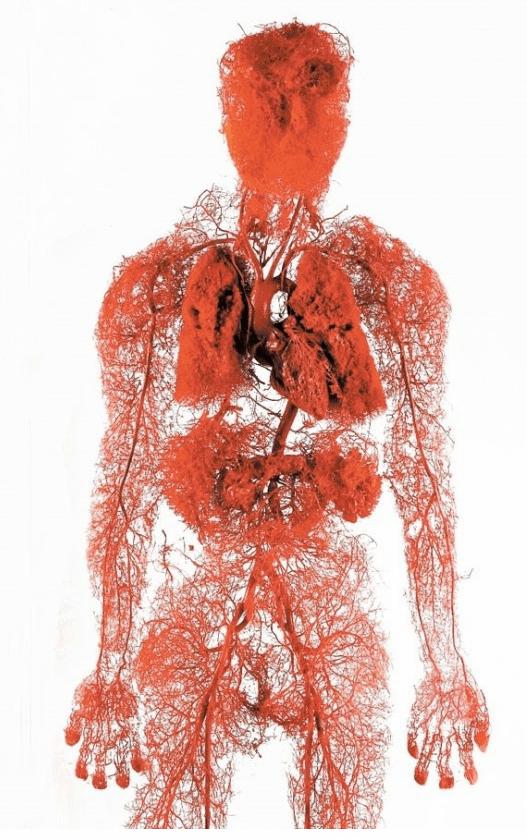 약혐)사람몸속의 혈관