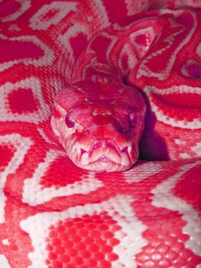 D7EB6225-FA00-44F6-B88C-CD7C0B781430.jpeg 특이한 색 뱀들