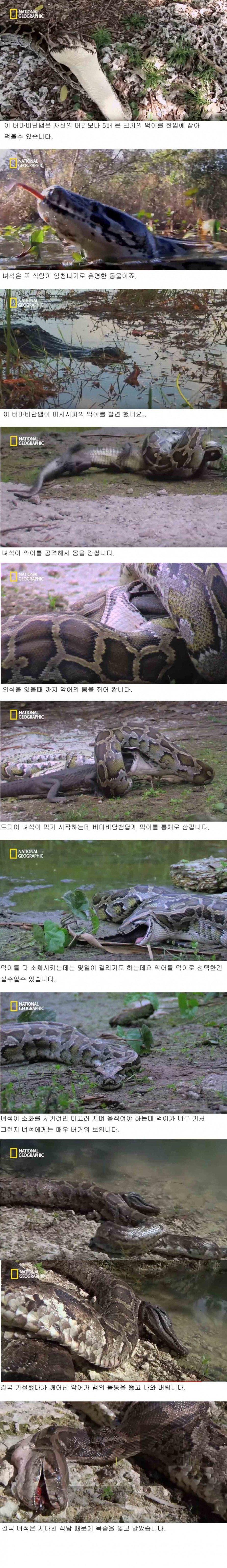 악어를 통째로 삼키는 버마 비단뱀.jpg
