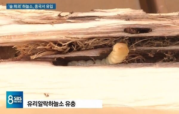7D8B77ED-9F5A-4AC0-949A-D3CB22293922.jpeg 최근 우리나라에서 숲을 파괴하는 곤충 feat(중국)