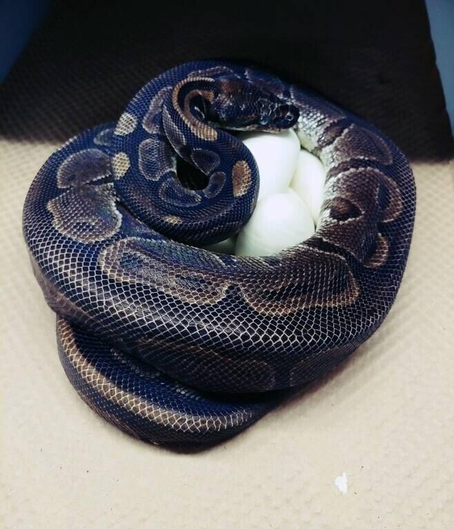 최소15년간 수컷 근처도 안 갔는데...알 낳은 미 동물원 62살 볼 비단구렁이(ball python)